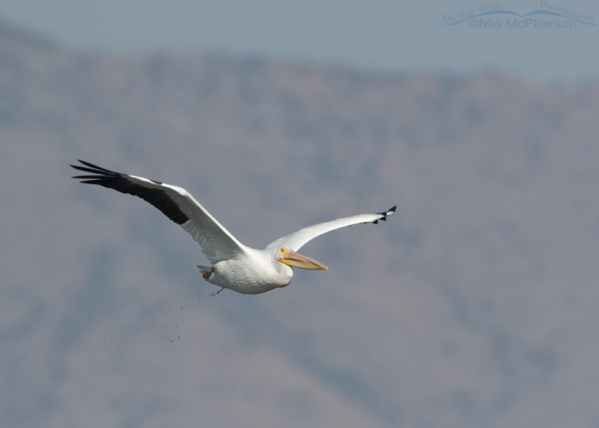 American White Pelican Dumping a Load in Flight – On The Wing