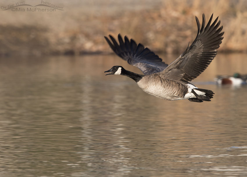 2e2ba99f8bd Adult Canada Goose calling in flight over a pond – On The Wing ...