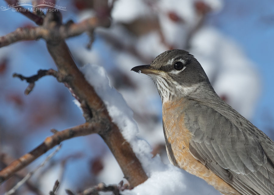 American Robin perched in a snowy Crabapple tree – On The