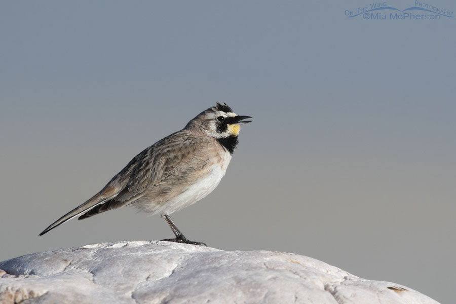Singing Male Horned Lark And The Great Salt Lake On The