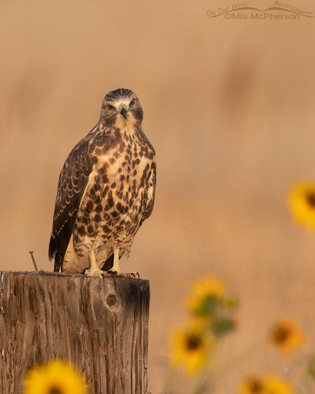 Immature Swainson's Hawk, Golden Light And Common Sunflowers