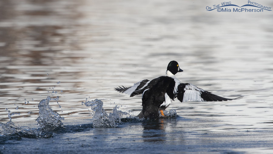 Intruding male Common Goldeneye moving quickly away from being chased off, Salt Lake County, Utah
