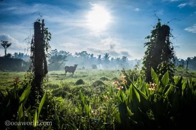 Cow Field Ubud Bali Indonesia photo Ooaworld