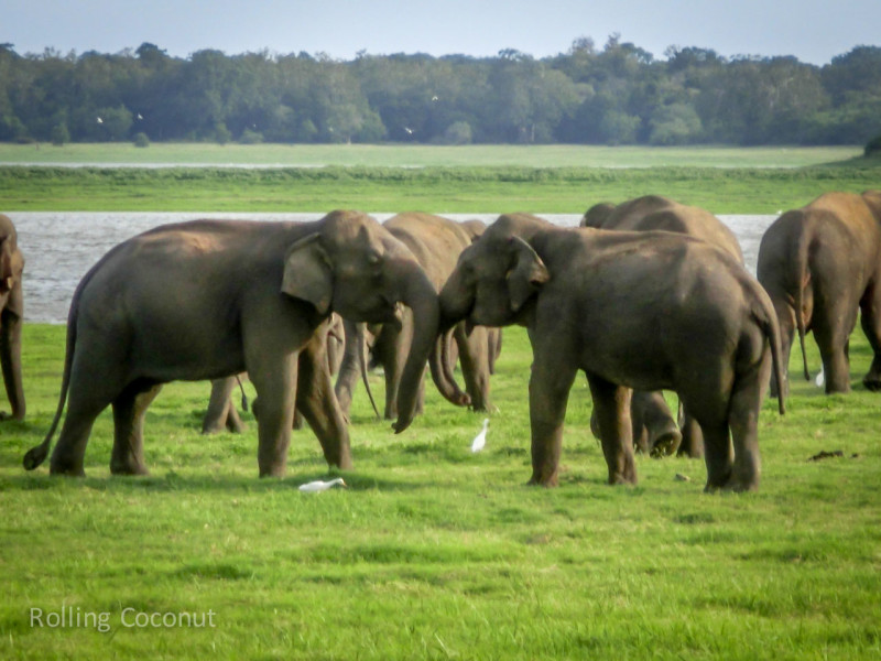 Habarana Sri Lanka Itinerary Elephants Minneriya ooaworld Rolling Coconut Photo Ooaworld