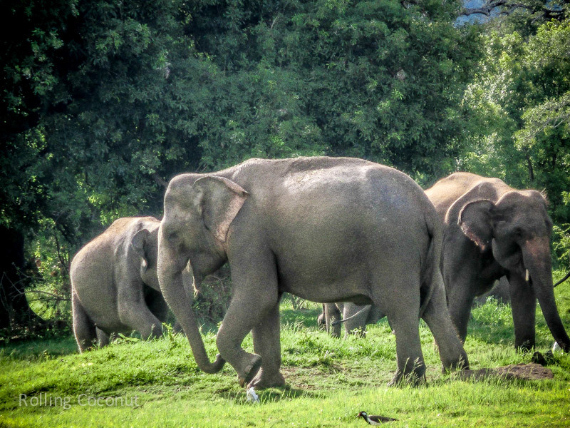 Habarana Elephants Safari Minneriya Sri Lanka ooaworld Rolling Coconut Photo Ooaworld