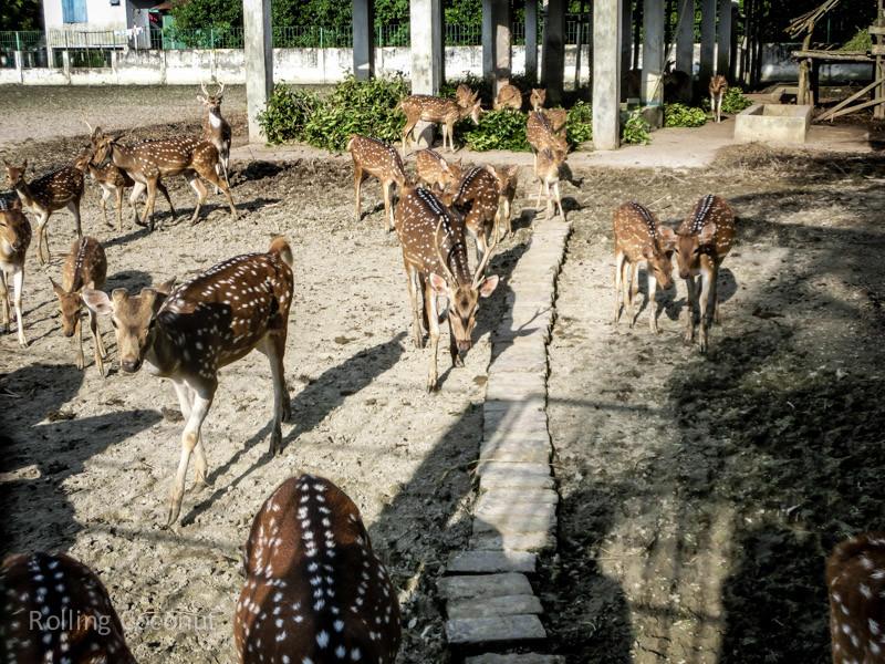 Bangladesh Mongla Sundarbans Chital Deers ooaworld Rolling Coconut Photo Ooaworld