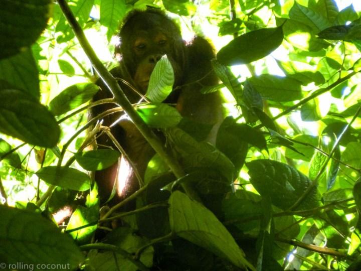 Tree Orangutan Sepilok Borneo photo ooaworld Rolling Coconut