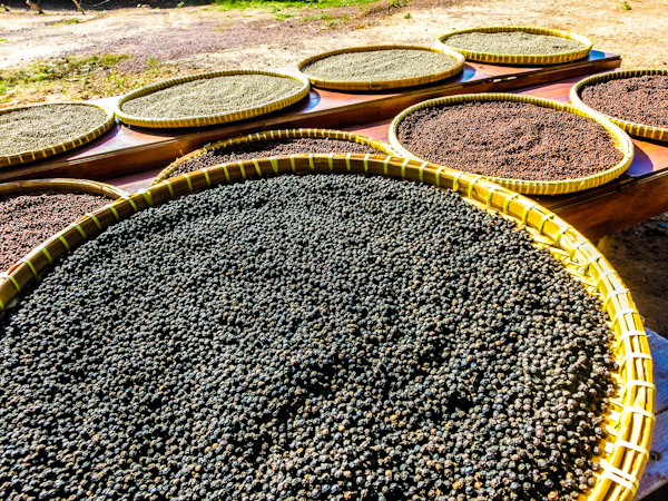 Kampot pepper Cambodia photo ooaworld Rolling Coconut