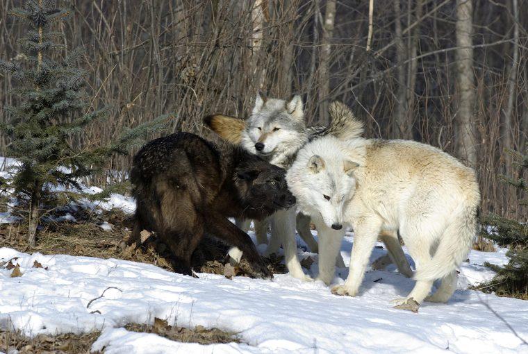 panel - vermin - wolves