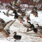 Christianna Tsiopanas spotted these mallard ducks in flight near the Humber River Trail in Toronto.