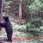"""Mike Merpaw of Renfrew says his field camera got this picture. """"Not to often you see a bear standing up so I though I would share it."""""""