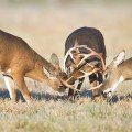 noise - deer seals - Three whitetail bucks fighting in a field