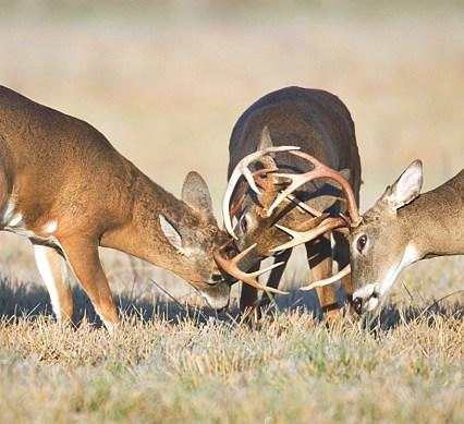 noise - deer seals - Three whitetail bucks fighting in a field