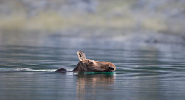 a moose swimming in a lake