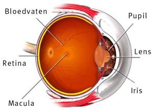 het oog met de localisatie van de retina en de macula