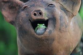 cochon rit rire