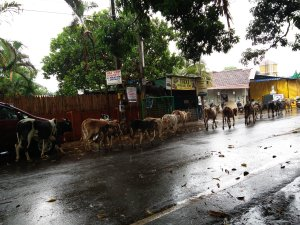 Cows in Goa