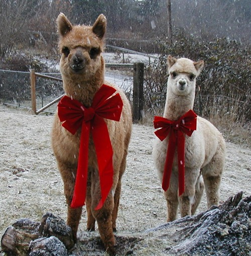 Deer Mountain Alpacas LLC Blog