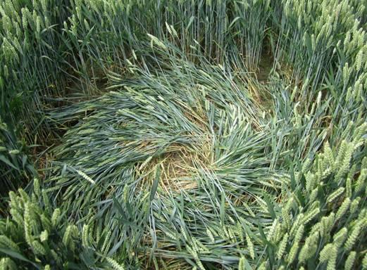 El (diámetro 1,5 m) más pequeño de los círculos de 14 de julio.  Foto: Roy Boschman