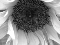 sunflower 2 copy-b-w