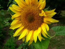 sunflower-2006-25