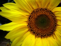 sunflower-2006-8