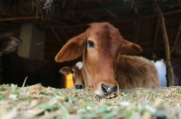 Man arrested in Bhopal for raping a cow after CCTV captures act of bestiality