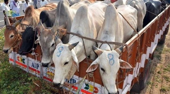 Cattle smuggling at the Indo-Bangladesh border down by 96%, reveal Bangladesh authorities