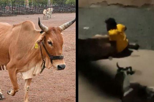 MP: Cow raped by Samar khan, FIR lodged against him for 'unnatural act'