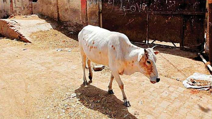 Himachal Pradesh: Cops nab accused who fed explosives to a cow