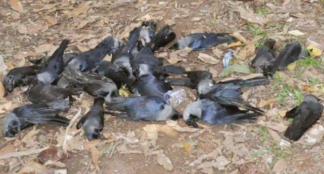 Thousands of birds die of bird flu in several states of India
