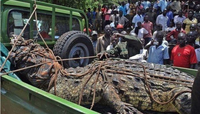 When Osama, the crocodile, ate 83 people in Uganda