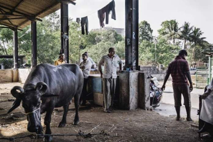 Mumbai: 300 cattle to be slaughtered at Deonar Abattoir per day from July 21 to 23
