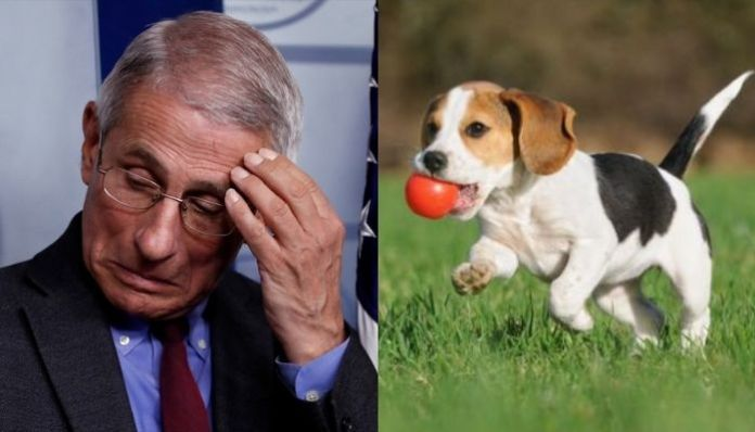 US: Anthony Fauci under fire for spening $4,00,000 for funding 'cruel' experiments on dogs, univesity defends him. Here is what happened