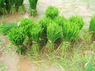Rice cultivation in Indonesia