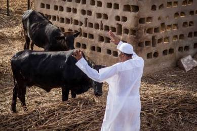 President Muhammadu Buhari in his farm