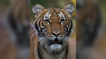 tigre-covide-eua