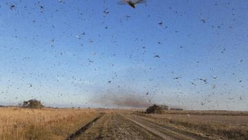 Nuvem-de-gafanhotos-ameaça-plantações-no-Sul-do-Brasil