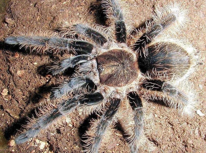 Araignée Mygale phobie peur ahaha