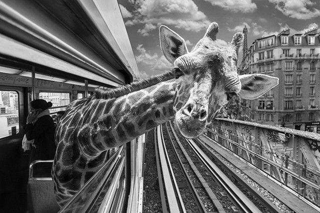 girafe-photo