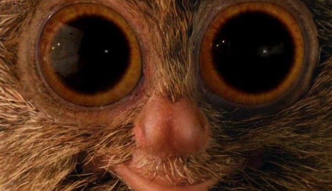 mcvities tarsier yeux
