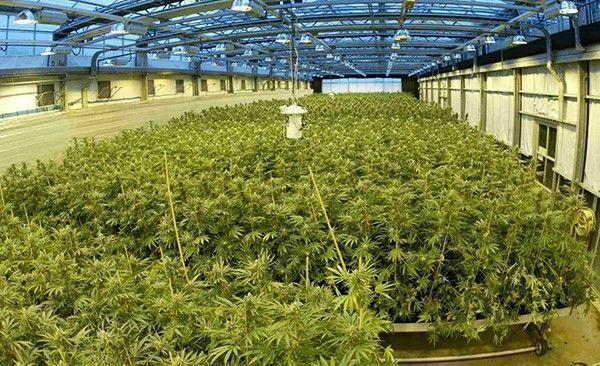 grande-production-cannabis