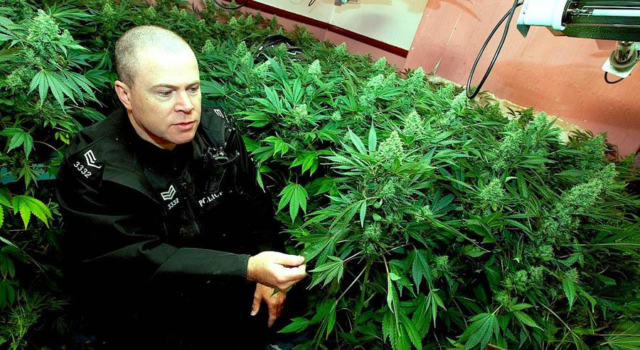 cannabis_crs1