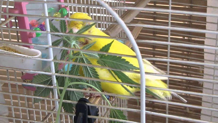 weed canari
