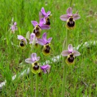 Orchideeën-jacht op Menorca
