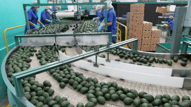 Photo of Caen exportaciones de aguacates de México por 1ra vez en ocho años