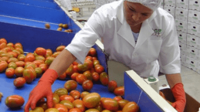 Photo of ROMPEN RÉCORD EXPORTACIONES MEXICANAS DE TOMATES