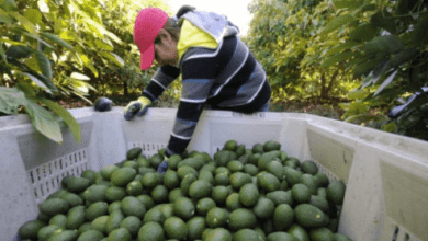 Photo of Detienen exportaciones mexicanas de aguacates al mundo