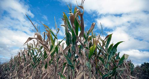 México rompe récord en importaciones de maíz originario de Estados Unidos
