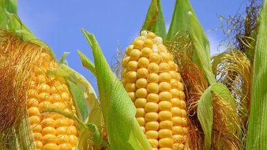 Photo of Los 10 mayores importadores de maíz del mundo